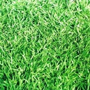 หญ้าญี่ปุ่น