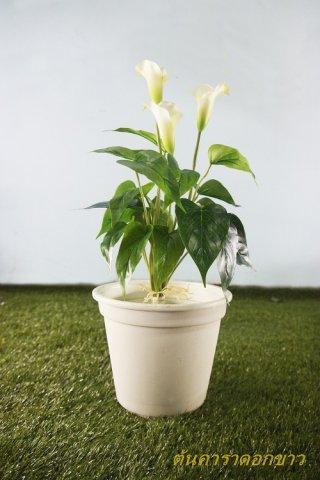 ต้นคาร่าดอกขาว