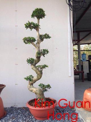 ต้นมังกรนำโชค(ไทรจีนเสียบยอด)