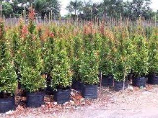 ต้นคริสติน่าขายส่ง