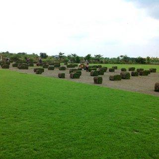 หญ้าพาสพาลัม