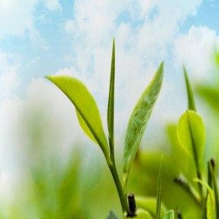 รับผลิตอาหารเสริมชาเขียว