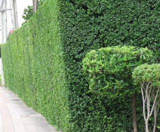 ปลูกรั้วต้นไม้