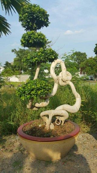 ต้นไทร มังกรทวีทรัพย์