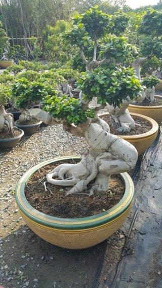 ต้นไทรพญาช้างสาร