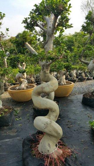 ต้นไทรพญามังกร