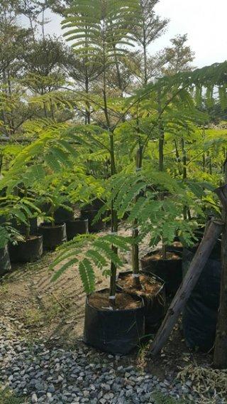 ต้นทาวเวอร์ทรี ขนาด 1 เมตร