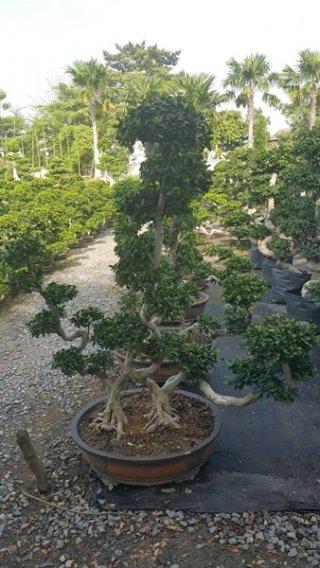 ต้นมหาเฮง มงคลเลขแปดของจีน