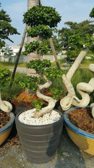 ต้นมังกรนำโชค 1.2 เมตร