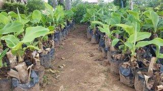 ต้นกล้วยหอมทองพันธุ์แท้