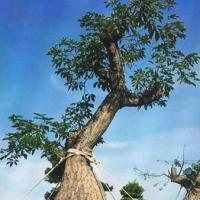 ต้น Bottle Tree