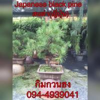 ต้นสนดำญี่ปุ่น (Japaness black pine)