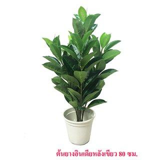 ต้นยางอินเดียหลังเขียว ขนาด 80 ซม.