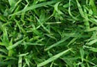 จำหน่ายหญ้านวลน้อย