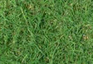 หญ้าเบอร์มิวด้า