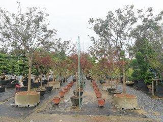 ต้นเมเปิ้ล (อเมริกา)