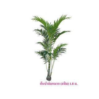 ต้นปาล์มหมาก สูง 1.8 ม. (สลิม)