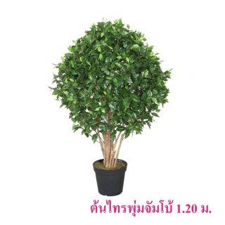 ต้นไทรพุ่มจัมโบ้ สูง 1.20 ม.