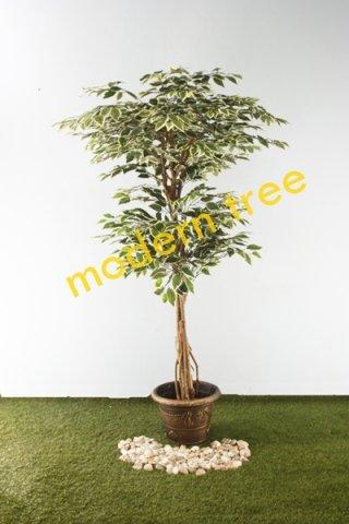 ต้นไทรด่าง 2 หัว 1.8 เมตร
