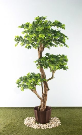 ต้นอาซาเลีย 3 หัว สูง 2 เมตร
