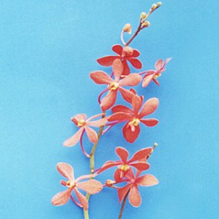Orchids for decoration, orchid exporter